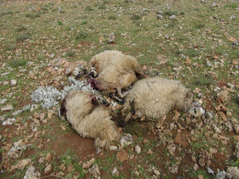 Çınar'da nisan ayında aç kurtlar sürüye saldırdı