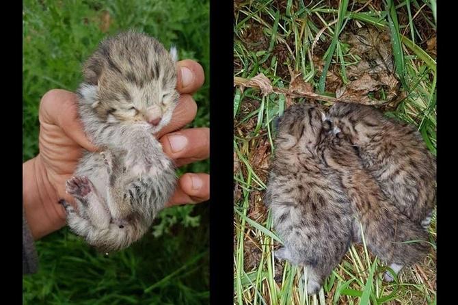 Çınar'da leopar yavruları görüldü 1