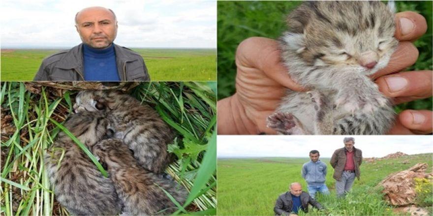 Çınar'da leoparı gören köylüler konuştu