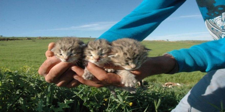 Leopar yavruları yeniden görüldü