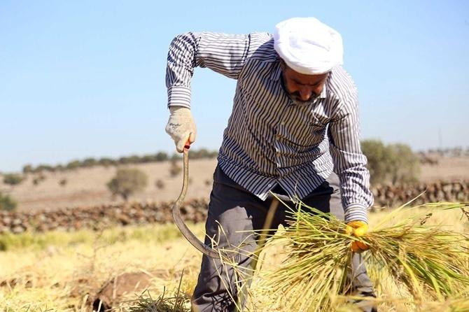 Çınar'da  Karacadağ'ın 'incisinde' hasat zamanı 1