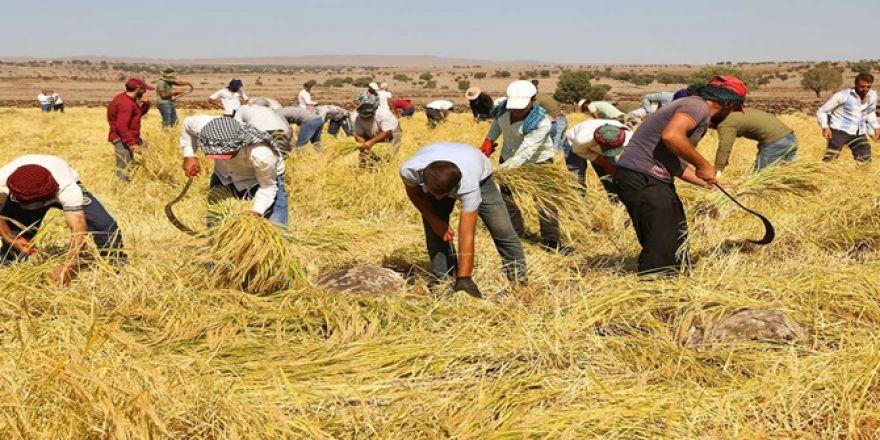 Çınar'da  Karacadağ'ın 'incisinde' hasat zamanı
