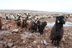 Mera alanının daraltılması hayvancılığı olumsuz etkiler video foto