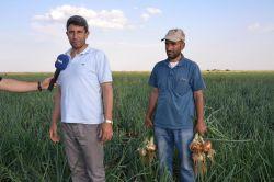 Bölgedeki soğan üreticileri perişan video foto