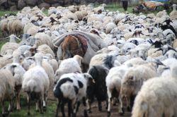 Bölgenin geçim kaynağı olan hayvancılık bitmek üzere video foto