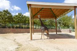 Hayvanat bahçesindeki zürafa Şakir'e 16 yıldır aranan eş bulundu