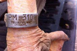 Üzerinde İsrail yazılı verici olan yaralı pelikan bulundu foto