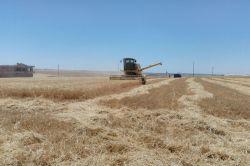 Kahta'da hububat hasadı başladı foto