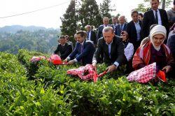 Cumhurbaşkanı Erdoğan, çay hasadı yaptı foto