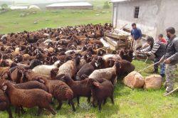 Koyun ve kuzuları birbirinden ayırma zamanı