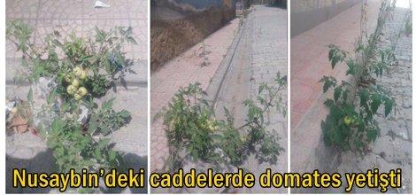 Nusaybin'deki caddelerde domates yetişti