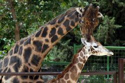16  yıldır yalnız olan zürafaya  eş bulundu