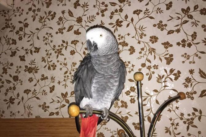 Kayıp papağan Şivan bulundu