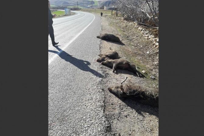 Aracın çarptığı 7 domuz telef oldu