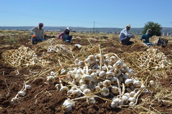 Gaziantep Araban'da sarımsak hasadı bereketli başladı