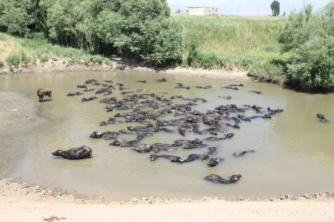 Mandalar nehirde serinliyor