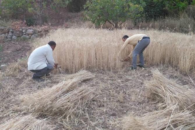 Buğday hasadını geleneksel yöntemlerle yapıyorlar