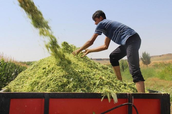 Yem fiyatlarını yüksek bulan Diyarbakırlı çiftçiler yem üretimine yöneldi