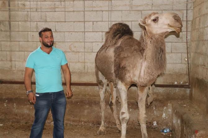 Yıl boyunca yetiştirdiği develeri bayramda satışa çıkarıyor