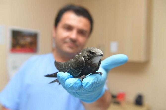 Bursa'da yavru ebabil kuşu bulundu video foto