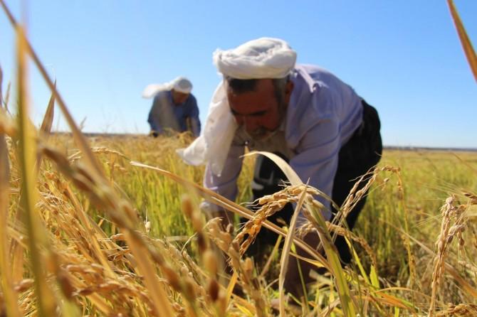 Karacadağ'da pirinç verimi geçen yıllara göre azaldı