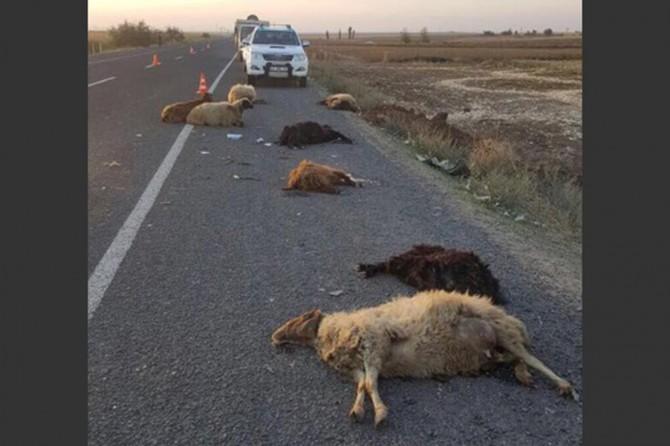 Seyir halindeki araç sürüye daldı 14 koyun telef oldu