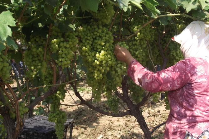 Rusya'ya sultani yaş üzüm ihracatında artış