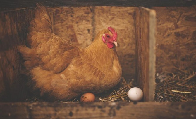 Tavuk eti ve yumurta üretiminde rekor