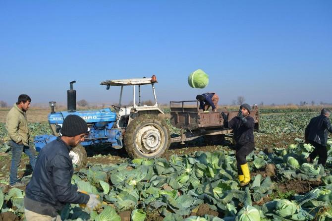 Çiftçiler lahana hasadından memnun