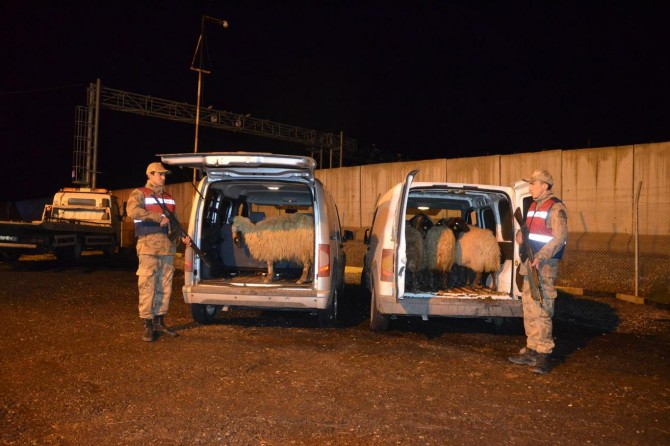 Diyarbakır Bismil'de jandarmadan kaçan araçlarda çalıntı koyunlar bulundu