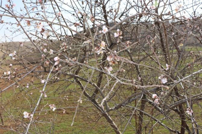 Ocak ayında çiçek açan badem ağaçları görenleri şaşırtıyor