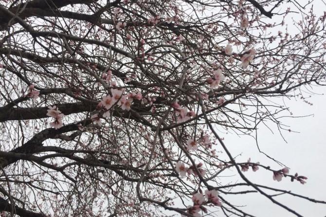 Diyarbakır'da bahar gelmeden badem ağaçları çiçek açtı