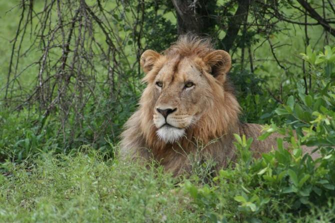 Kaçak avcı aslanlara yem oldu