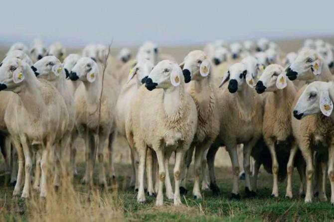 300 Koyun Projesi'nin başvuruları başladı