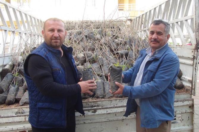 Çınar'da çiftçilere fıstık fidesi dağıtıldı