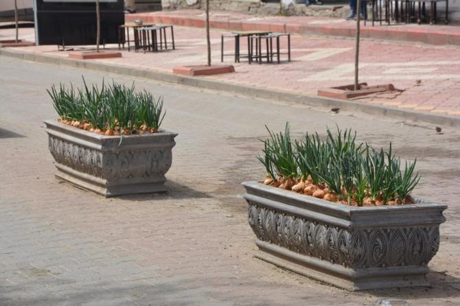Çiçek yerine soğan ekilen saksılar dikkat çekiyor