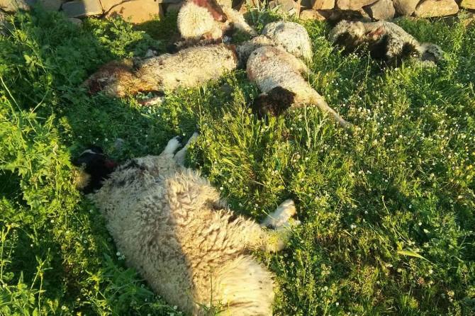 Diyarbakır'da  köye inen kurtlar 6 kuzuyu telef etti