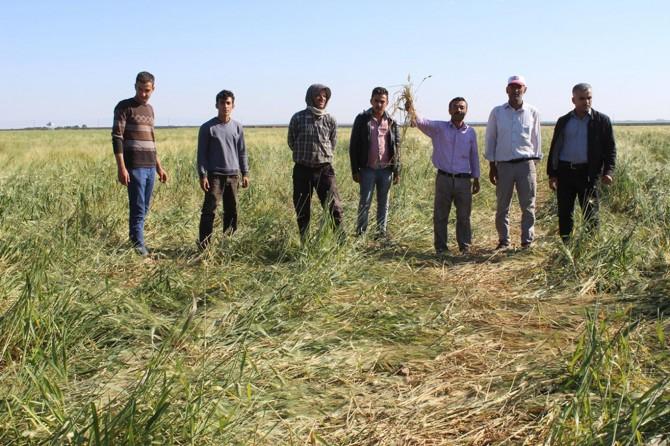 Mardin Nusaybin'de domuzlar ekinlere zarar veriyor