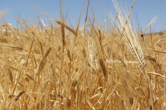 Yılın ilk buğdayı bir lira 55 kuruştan satışa sunuldu