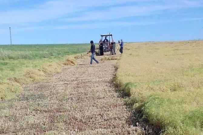 Çiftçiler mercimek hasadına başladı