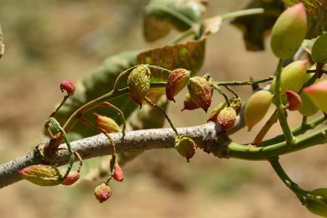 Fıstık ağaçlarındakimeyve dökülmeleri tedirgin ediyor