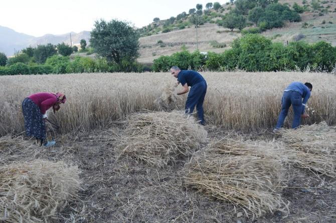 Hububat hasadını geleneksel yöntemlerle yapıyorlar