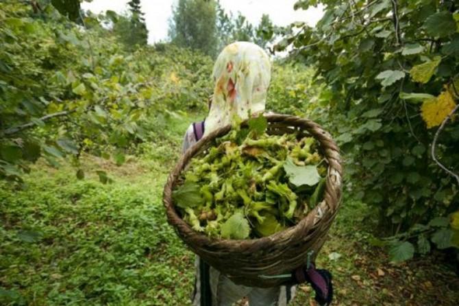 Fındık hasadı işçi ve patoz ücretleri belirlendi
