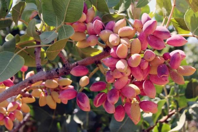 Fıstık üreticilerine erken hasat uyarısı