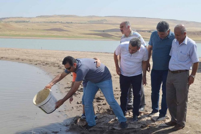 Siirt'te göletlere 120 bin yavru aynalı sazan bırakıldı