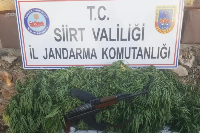 Siirt Kurtalan'da hint keneviri yetiştiren şahıs yakalandı