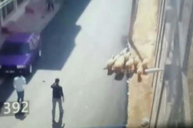 Mardin Nusaybin'de çalınan koyunlar bulundu