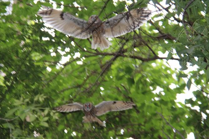 Okul bahçesine dadanan baykuşlar dikkat çekiyor