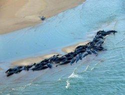 Avustralya'da onlarca yunus ve balina kıyıya vurdu