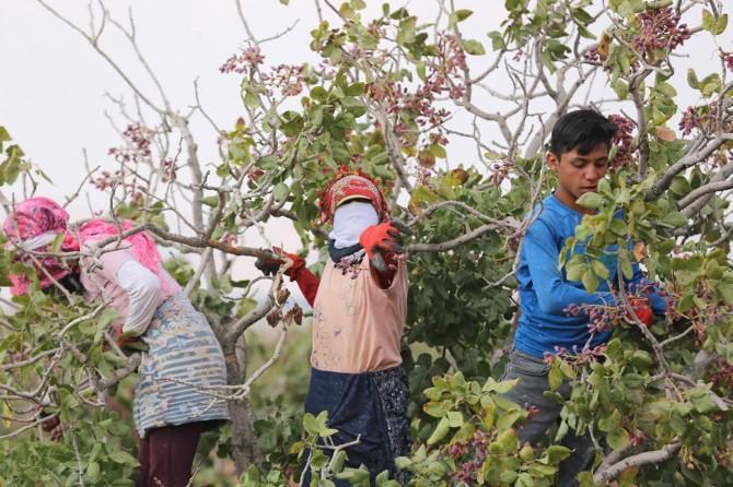 Gaziantep'te okul harçlığı için fıstık topluyorlar